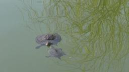 Turtles In Love stock footage