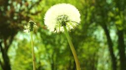 Close up shot of a Dandelion flower head Footage