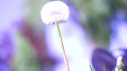 Close Up Shot Of A Dandelion Flower Head stock footage