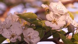 Sun Shining Through Blossom Branch Tree Footage