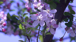 Blossoming Apple Tree Footage