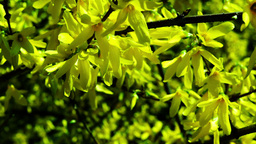 Forsythia Flowering Footage