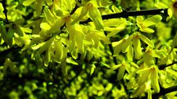 Forsythia Flowering Footage