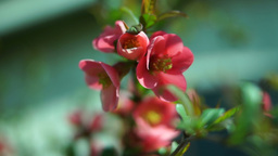 Chaenomeles japonica, Japanese Flowering Quince Footage