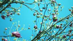 Yulan magnolia or Magnolia Denudata Footage
