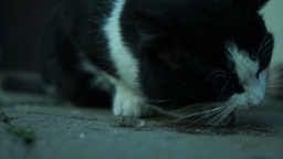 Cat Eating Fish Outdoors Footage
