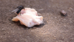 Fly (Musca domestica) Feeding With Smelly Fish Footage
