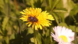 Fly Feeding on Pollen3 Footage