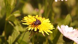 Fly Feeding on Pollen Footage