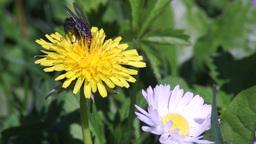 Fly Feeding on Pollen Slow Motion Footage