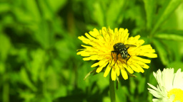 Fly Feeding on Pollen Motion Speed Footage