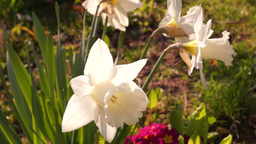 White Daffodils Or Narcissus Footage