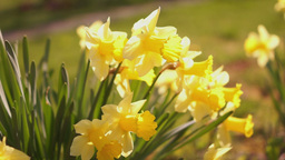 Yellow Daffodils Or Narcissus, Morning Sun Footage