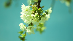 Branch Of Apple Blossoms stock footage