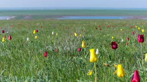 Multiple Colored Wild Tulips In A Green Field stock footage