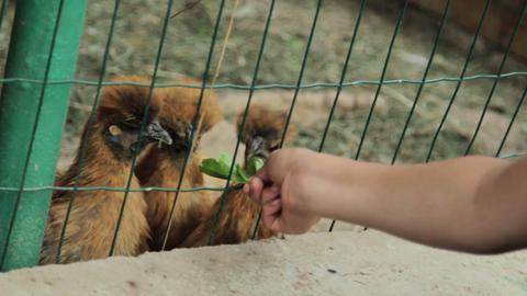 Children feed chiken in cage Footage