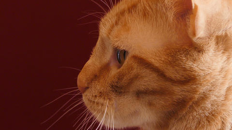 cat red background 02 Live Action