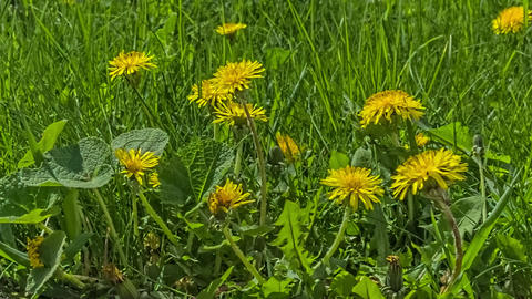 Grass, Dandelion And Bee stock footage