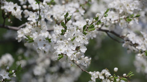 Branches of the blossoming cherry Footage