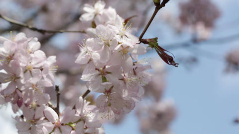 Branches of the pink Japanese Oriental cherry sakura close up Footage
