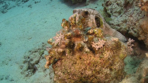Pufferfish on Coral Reef Footage