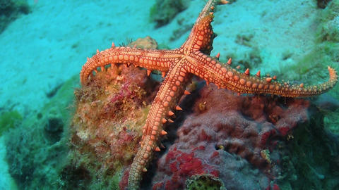 Tropical Starfish on Vibrant Coral Reef Live Action