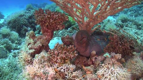 Murena on Coral Reef Footage