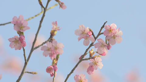 Cherry blossoms,in Showa Kinen Park,Tokyo,Japan.Filmed in 4K Footage