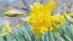 4K_UHD/HD スイセン Narcissus stock footage