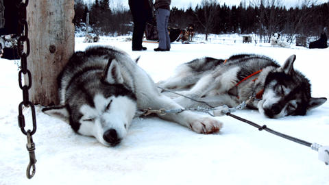 Beautiful Husky Dogs