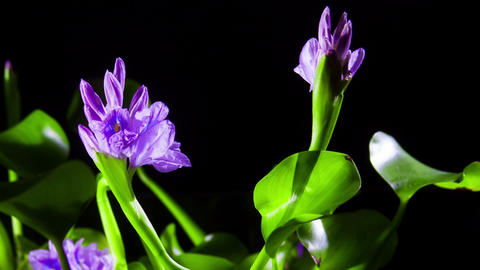 Water Hyacinth Timelapse stock footage