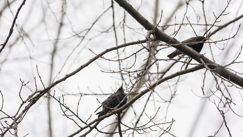 Starlings Footage