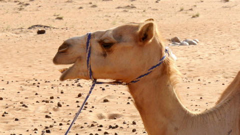 camel chewing closeup Footage
