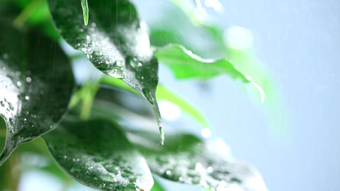 Water Falling On Leaves stock footage
