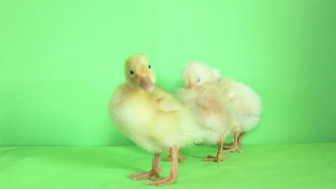 baby duck with baby chickens 02 Footage