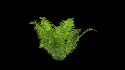 Real Fern Isolated 1 stock footage