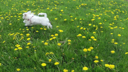 Maltese Dog Chasing stock footage