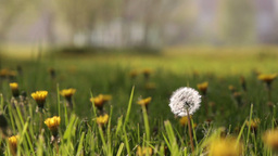 blowing dandelion Footage