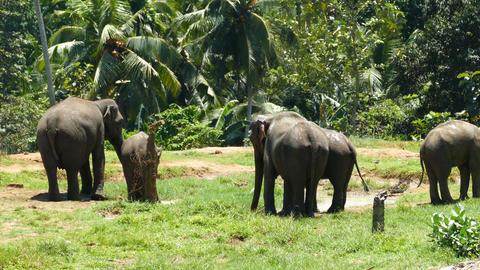 Elephants at Pinnawala in Sri Lanka Footage