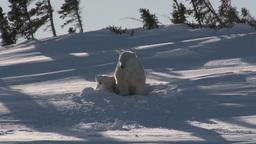 Polar Bear (Ursus Maritimus) stock footage