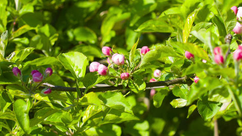 Apple spring flowers, blossoming branch Footage