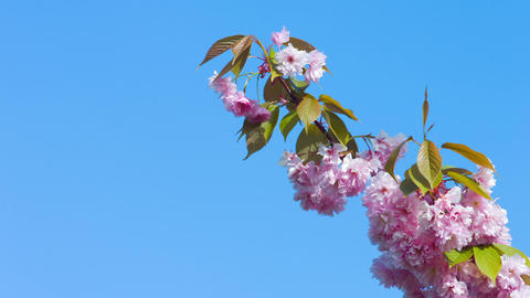 Japanese cherry branch flowers on blue sky Footage