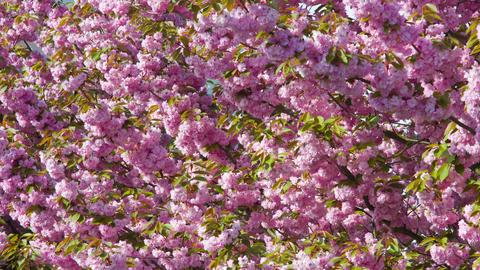 Japanese cherry blossoms in spring, nature background Footage