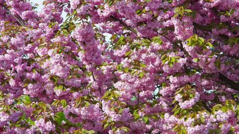 Spring cherry tree sakura blossoms Footage