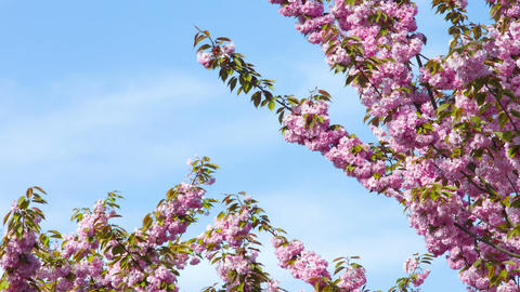 Pink cherry blossoms on blue sky Footage