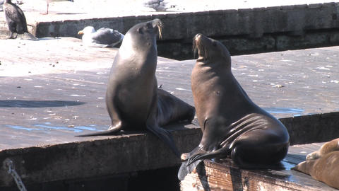 Sea Lions Stock Video Footage