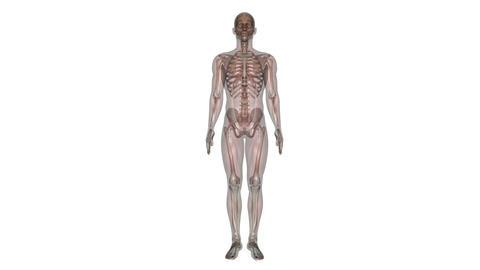 Human body Skeleton Stock Video Footage