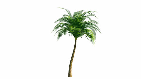Growing palm tree with alpha channel Stock Video Footage