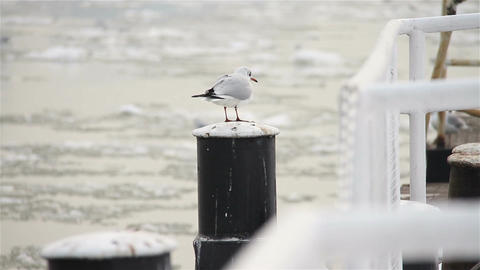 Seagull on Dock Winter 01 Footage