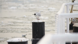 Seagull on Dock Winter 01 Stock Video Footage